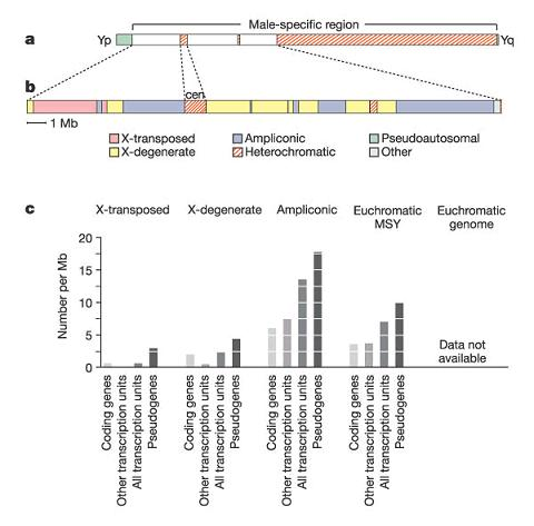 y chromosome structure  Chromosome Structure and Evolution: