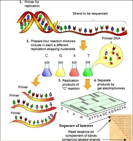 dna sequencing How the sequence of nucleotide bases (as, ts, cs, and gs) in a piece of dna is determined.