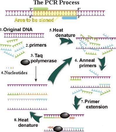 PCR  Polymerase Chain Reaction Polymerase Chain Reaction Diagram