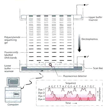 Automated Gel Electrophoresis