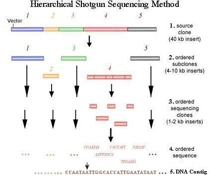 Hierarchical Shotgun Sequencing
